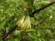 Kamčatská borůvka MODRÝ TRIUMF