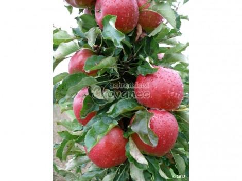 Sloupcovitá jabloň RED SPRING