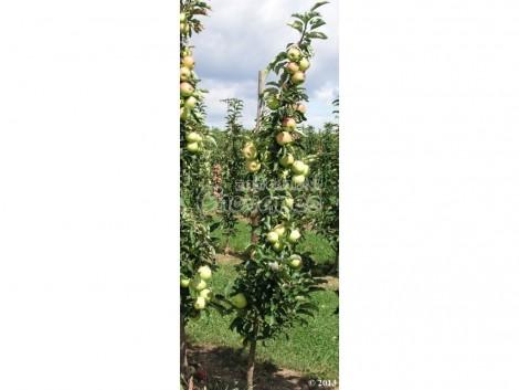 Sloupcovitá jabloň GOLDCATS