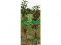 Sloupcovitá jabloň SUNCATS