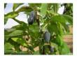 Kamčatská borůvka HELFŠTYN