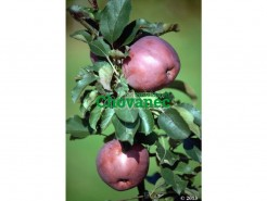 Sloupcovitá jabloň POMFITAL
