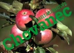 Sloupcovitá jabloň POMPINK