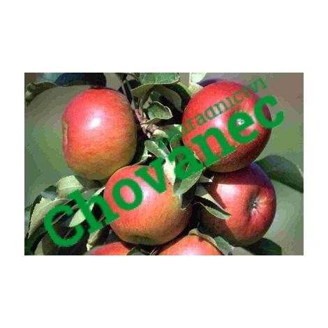 Sloupcovitá jabloň POMRED ROBUST