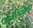 Kamčatská borůvka REMONT
